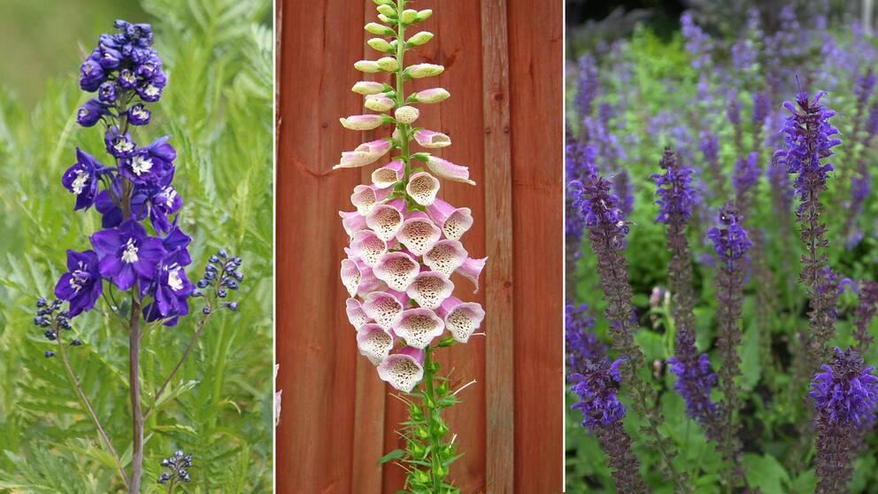 Bilder på tre sorters blommor: lila riddarsporre, rosa fingerborgsblomma och lila-blå salvia.