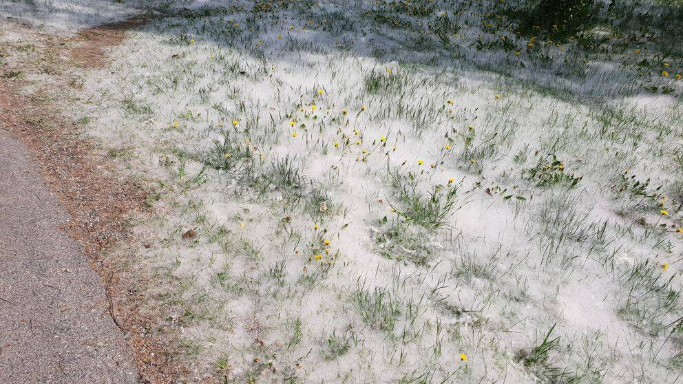 Blommor täckta av ludd från asp.