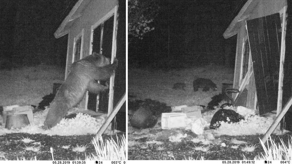 Collage i två bildhalvor med lodrät bildavskiljare. Vänster bildhalva: En björn lutar sig med överkroppen mot en dörr. Höger bildhalva: Dörren är uppbruten och i bakgrunden syns en fullvuxen björn och en björnunge.