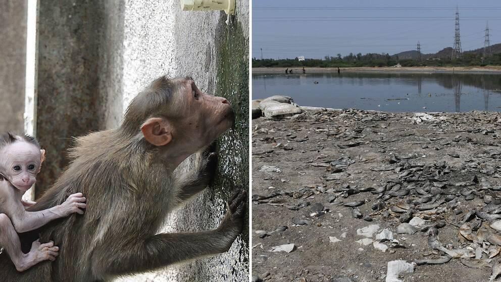 Apa som dricker vatten. Uttorkad sjö med döda fiskar i Indien.