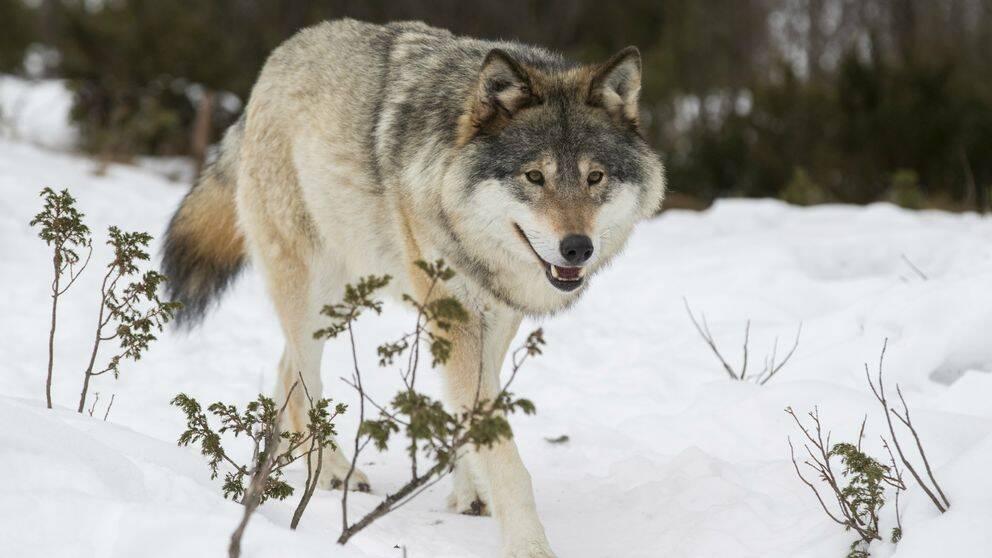 En varg i snö.