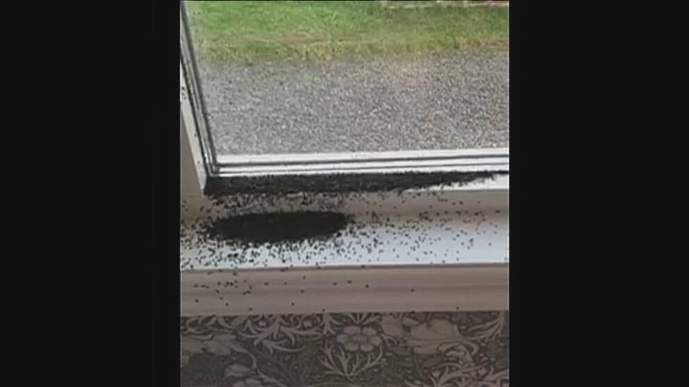 svarta högar av knott längs fönsterbrädan och karmen