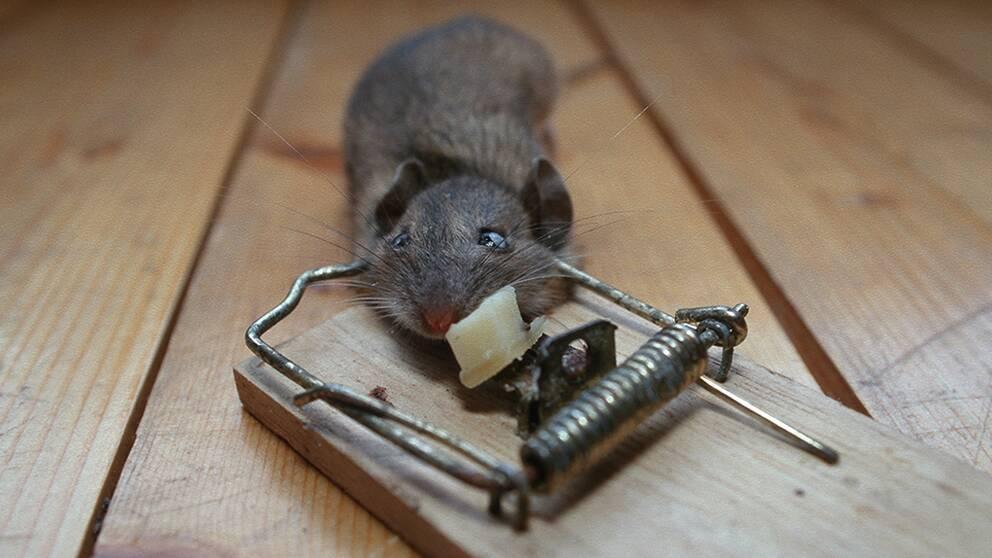 Mus i råttfälla