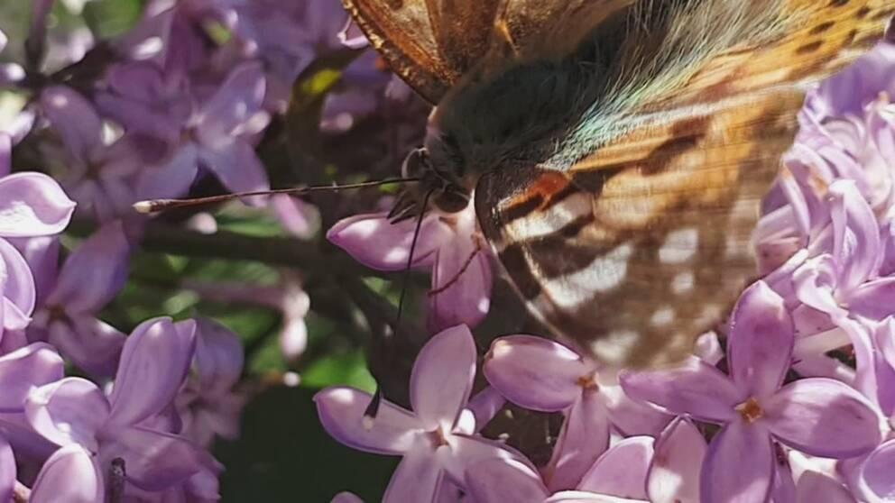 närbild på fjäril på blomklase