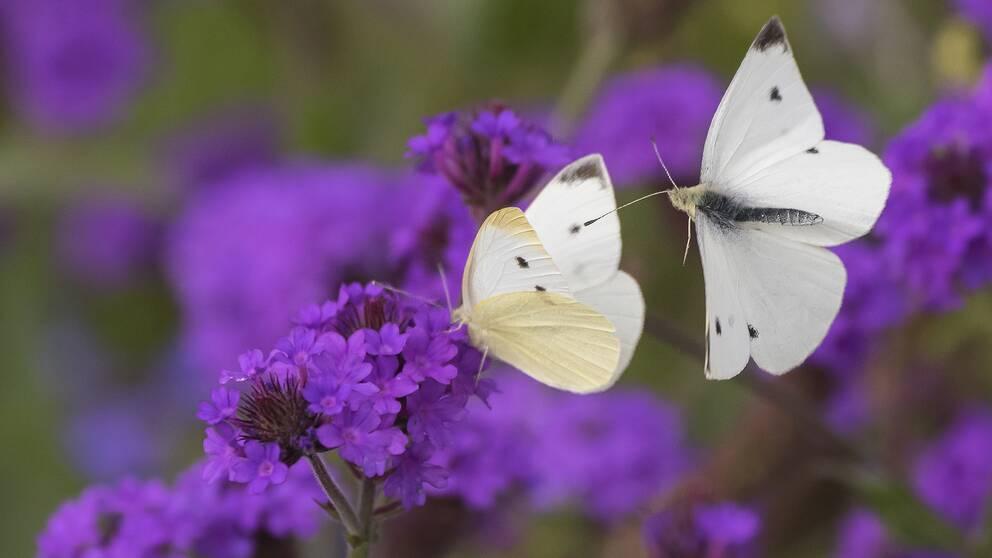 Vita fjärilar på lila blommor.