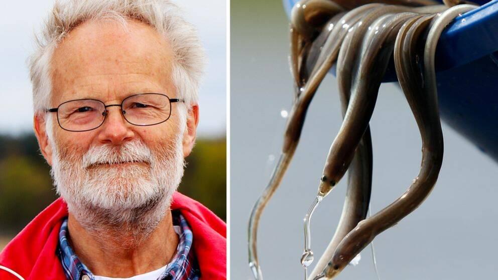 Håkan Wickström är forskare på Sveriges lantbruksuniversitet (SLU) och har under många år jobbat med ål.