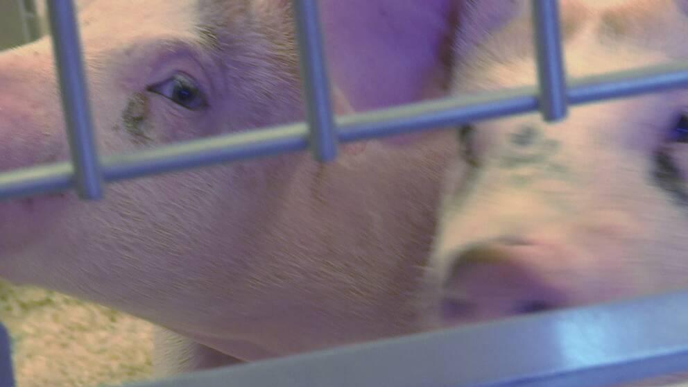 Djurförsök på större djur kommer bli aktuellt om det nya forskningscentret som bland annat Göteborgs universitet vill vara med och starta.