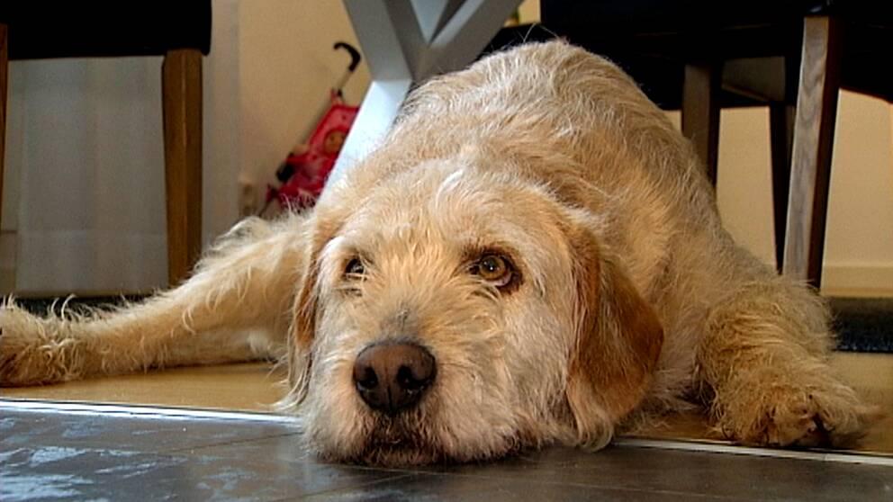 Hunden Arthur ligger på golvet