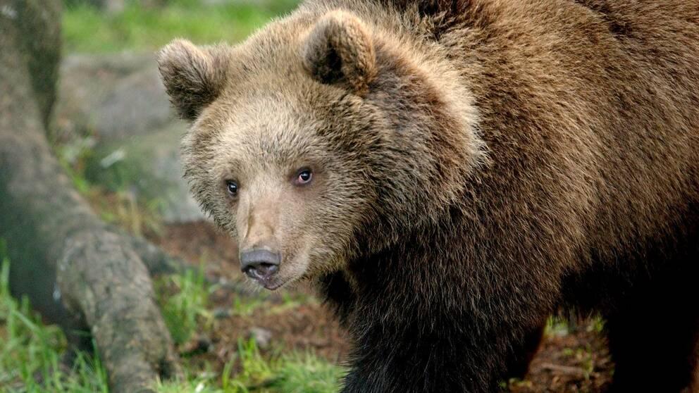 bild på en brunbjörn