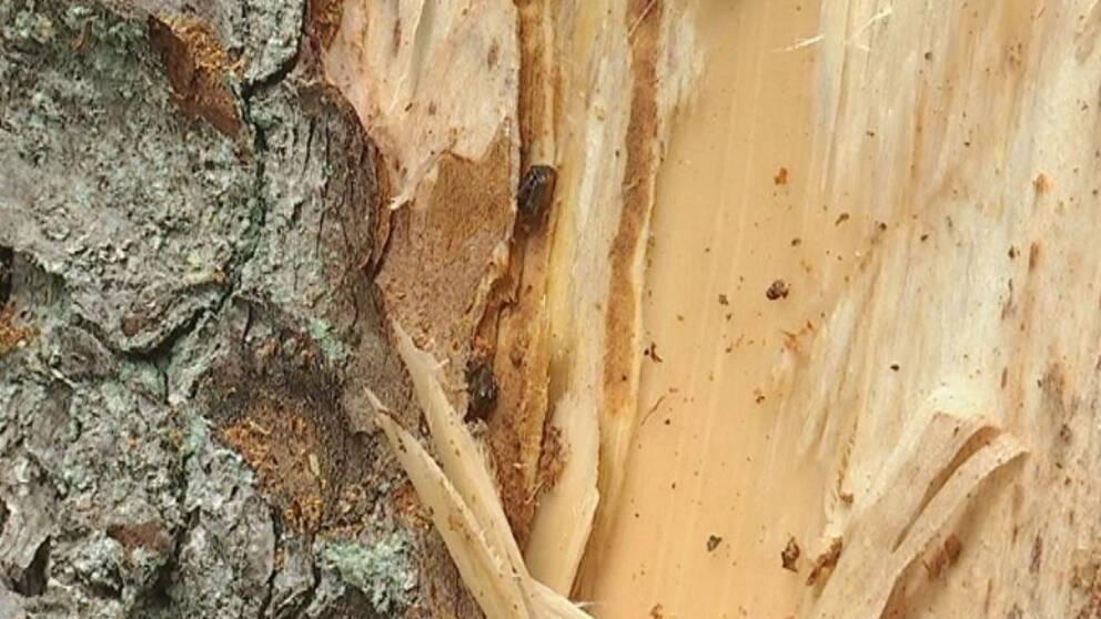 Två granbarkborrar ligger i en springa under barken på en gran.