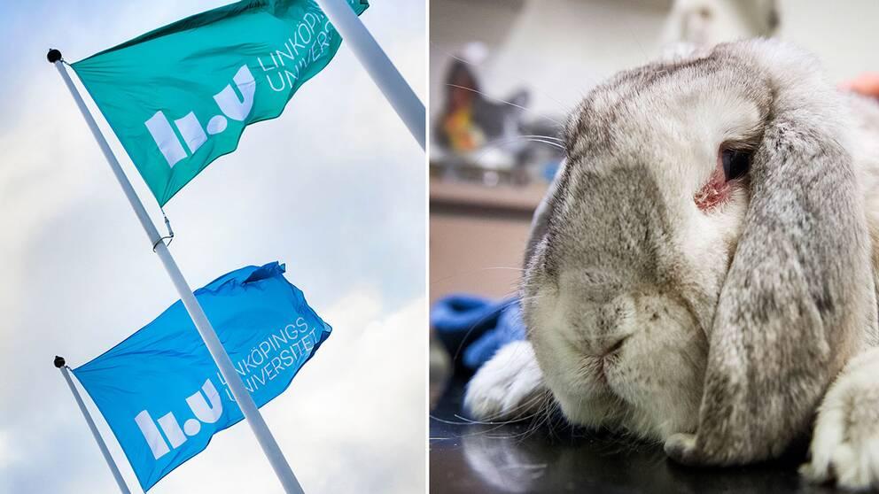 Linköpings universitets flaggor och kanin
