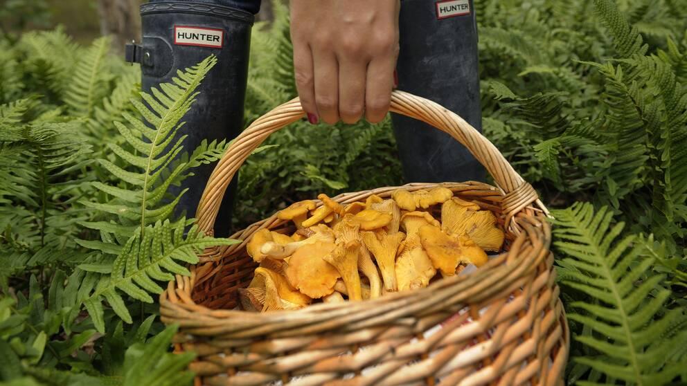 En hand som håller i en korg med kantareller, omgiven av gröna ormbunkar