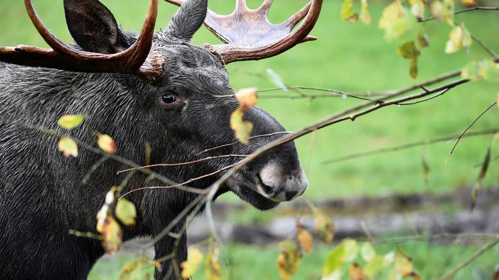 Älgtjur med skovelhorn i ett buskage.