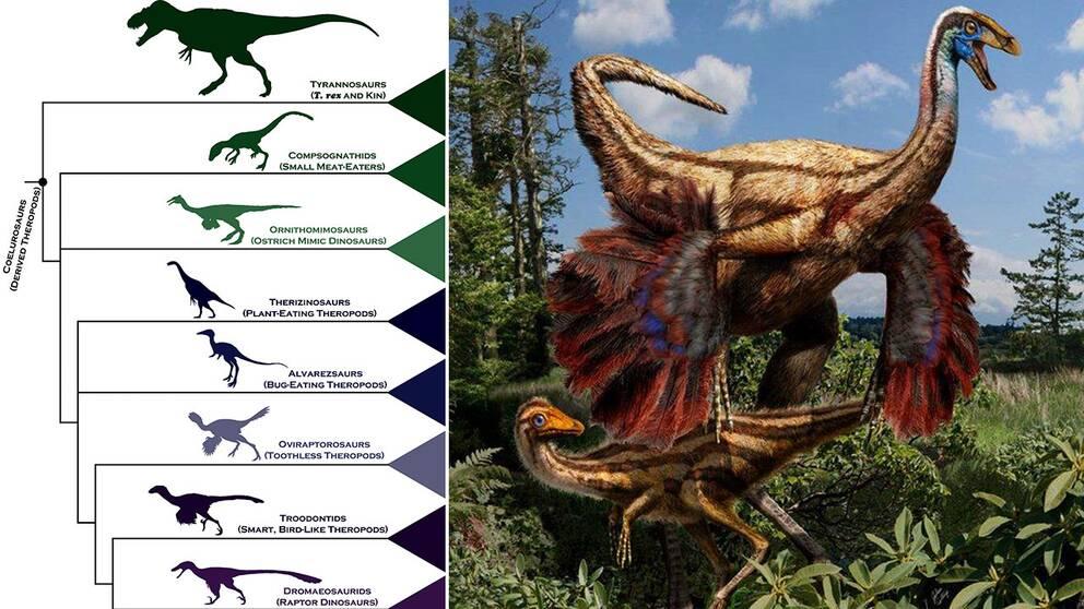 För att se hur dinosaurierna blev fåglar har forskarna kartlagt hur arten utvecklades.