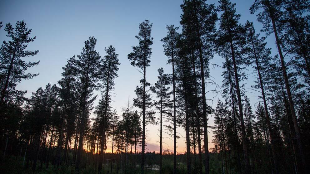 genrebild, skog, tallar