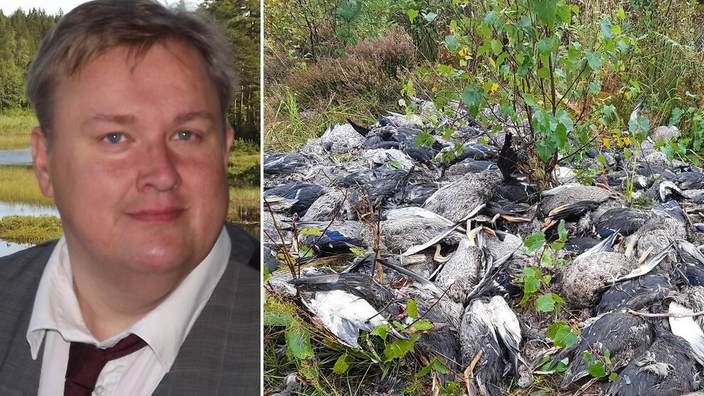 Tony Johansson, ordförande Miljöpartiet i Melleruds kommun och döda gräsänder
