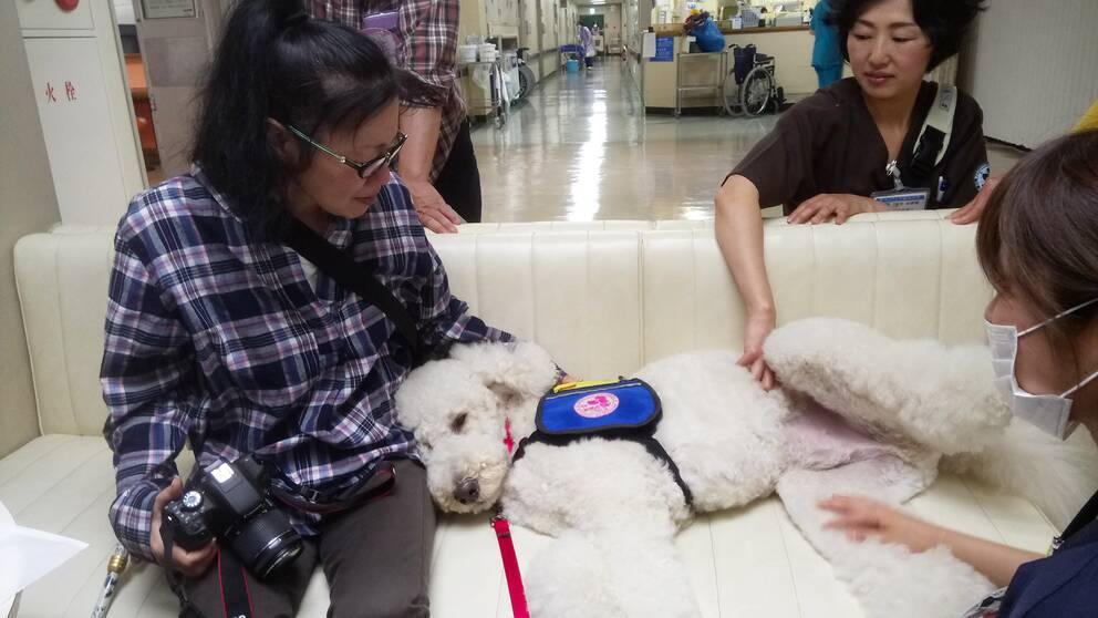 Den vita pudeln Morris arbetar som terapihund på sjukhus i Japan. Han ligger i en soffa bredvid en patient.