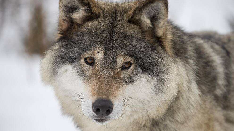 En varg.