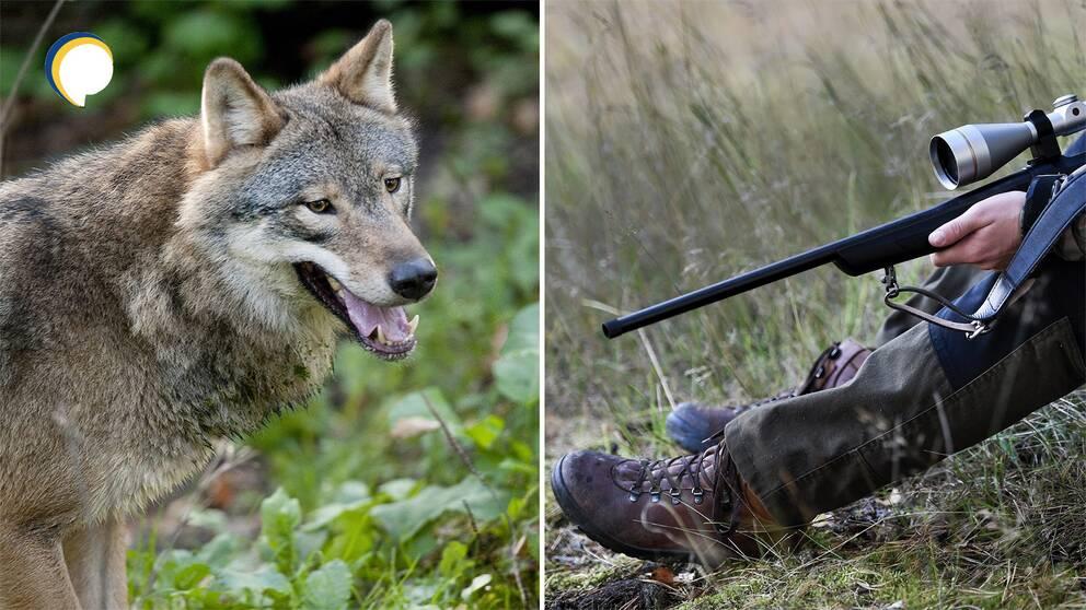 """""""Man tar saken i egna händer"""" – Jägareförbundet och Naturvårdsverket om sin respektive syn på illegal jakt och hur många vargar vi bör ha. Arkivbilder."""