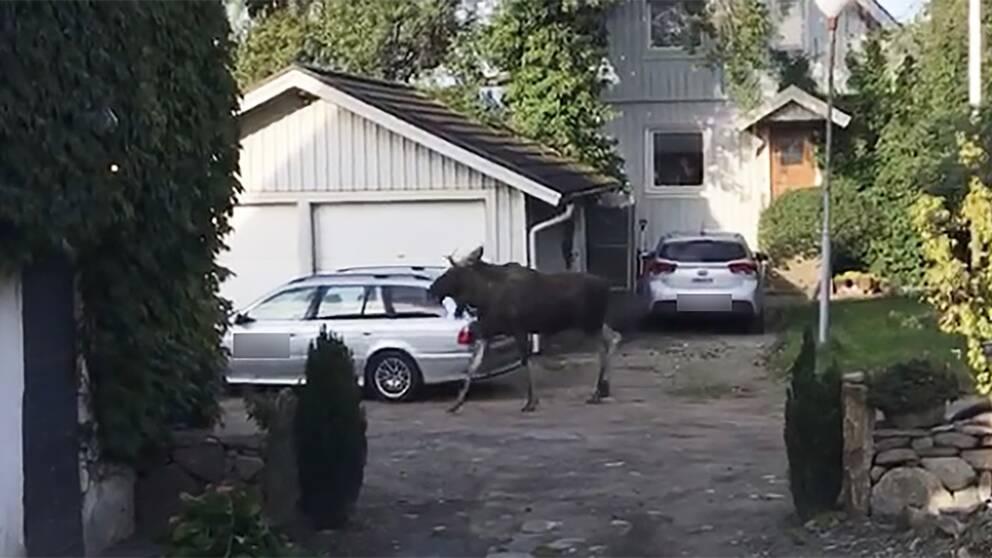 Aggressiv älg sprider oro i grannskap i Väröbacka