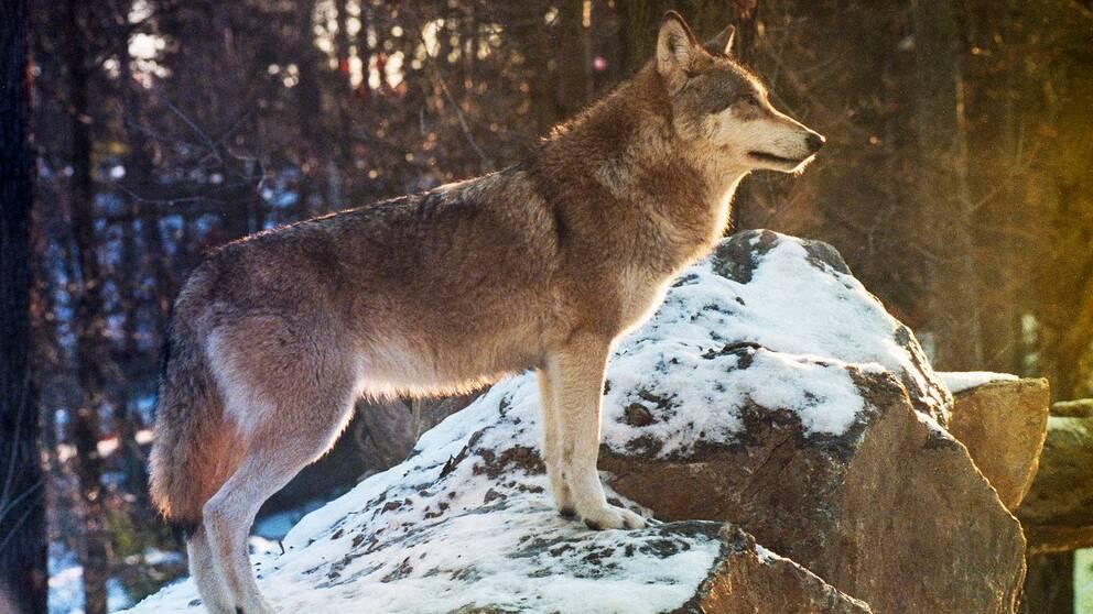 En varg står på en sten och blickar ut