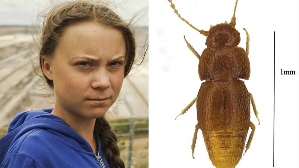 Greta Thunberg och skalbaggen som uppkallas efter henne.