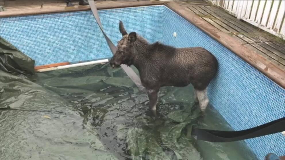 Älgkalv räddades ur poolen med spännband