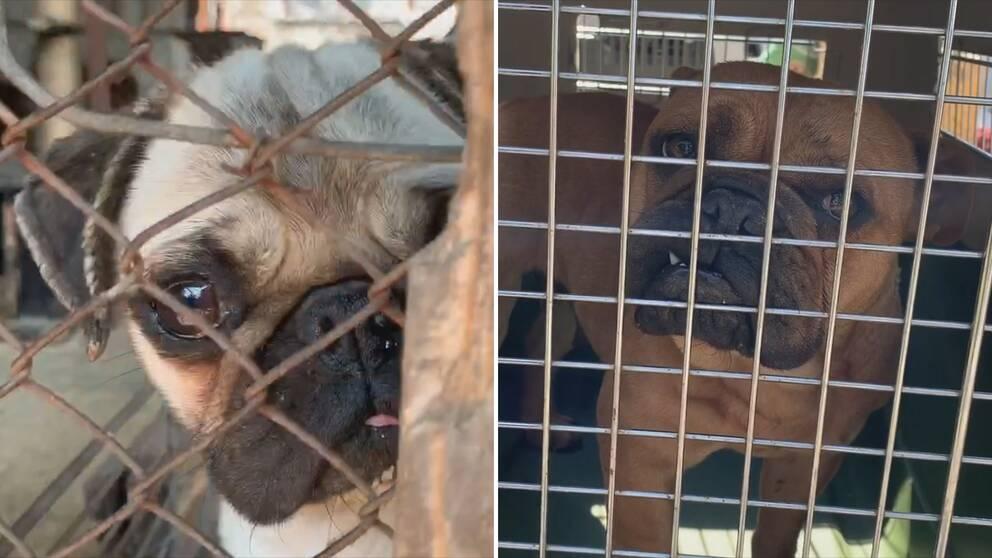 """""""Så länge vi inte tar tag i det här och människor kan smuggla hundar kommer det bara bli värre"""", säger Gunnel Hellman vid Tullverket. Bilderna visar hundar som en ungersk djurrättsorganisation omhändertog från uppfödare våren 2019."""