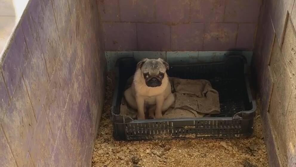 """Gunnel Hellman på Tullverket minns särskilt ett fall då en äldre dam hade köpt en sällskapshund. När hennes barnbarn kom på besök för att klappa den lilla valpen högg den till. """"Det blev en stor utredning för att ta reda på om barnet hade rabies och det tar tid att få svar på de här proverna"""", säger hon. Bilden visar en hund som en ungersk djurrättsorganisation har omhändertagit från uppfödare."""