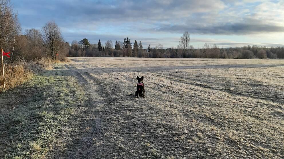 Kall morgon i Malung Dalarna 11 grader minus. Hunden Bossa gillar detta.