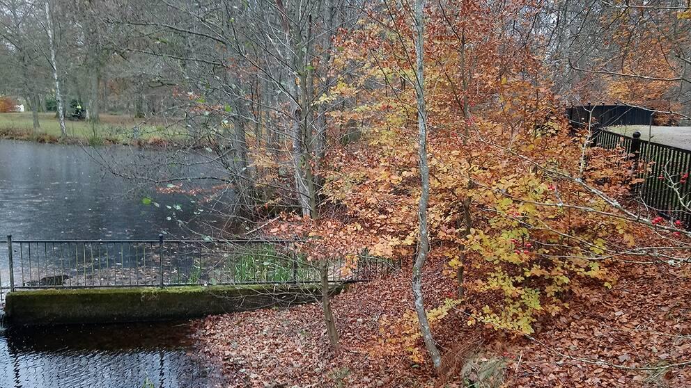 Snart är det vinter, isen har lagt sig som en tunn hinna över ån i Alingsås Västergötland och naturens höstfärger lyser upp novemberdagen.