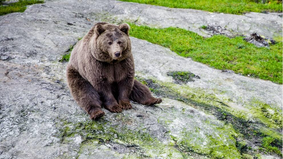 En björn som sitter på marken.