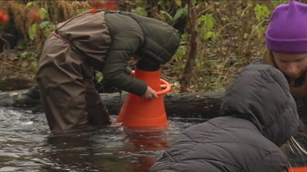 En elev från Norrevångskolan undersöker vattnet i Mörrumsån genom en vattenkikar.