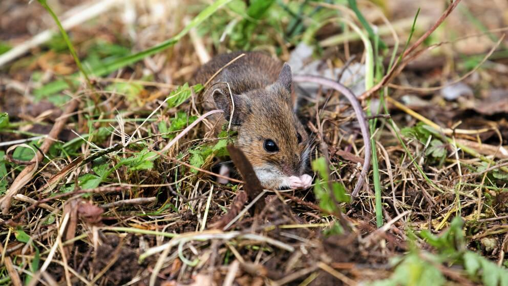 En mus som sitter i skogen