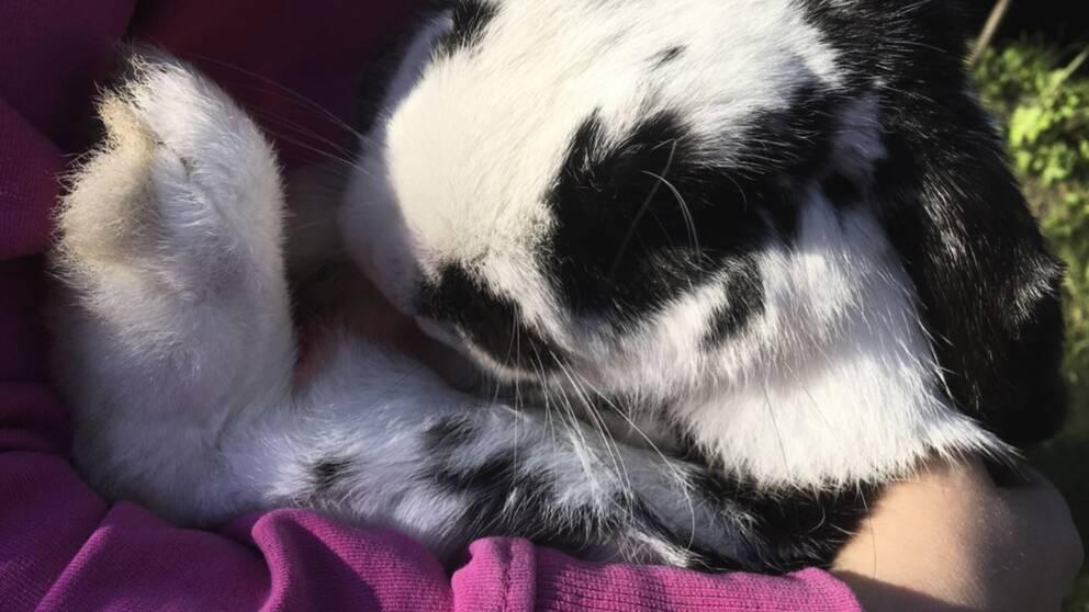 Svartvit kanin hållen av ett barn