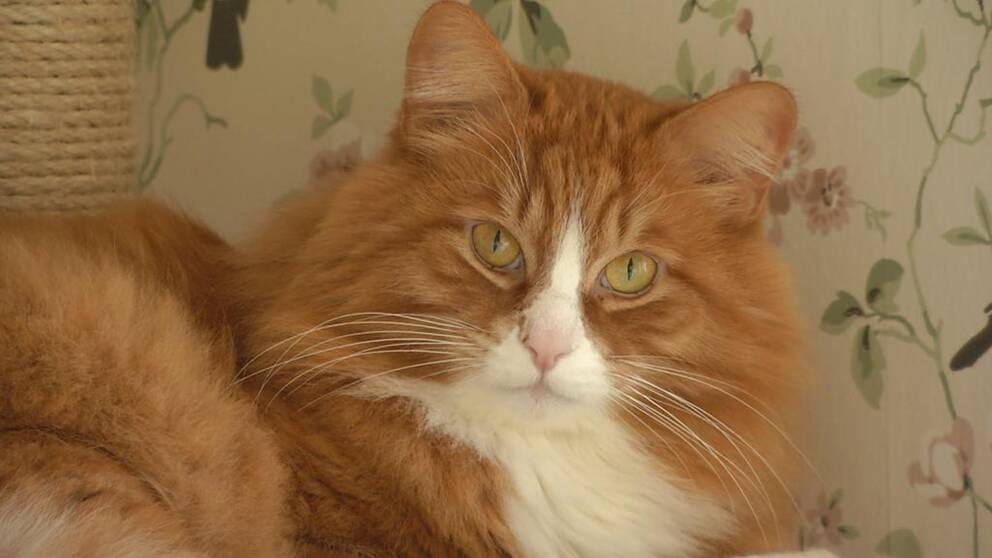 Katter har ett rykte om sig att vara oberäkneliga och kryptiska. Men det handlar kanske snarare om att vi människor är dåliga på att tyda katternas subtila signaler, enligt en ny studie.
