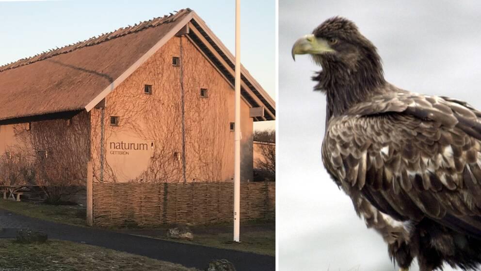 På naturum Getterön finns det god chans att se Sveriges största rovfågel.