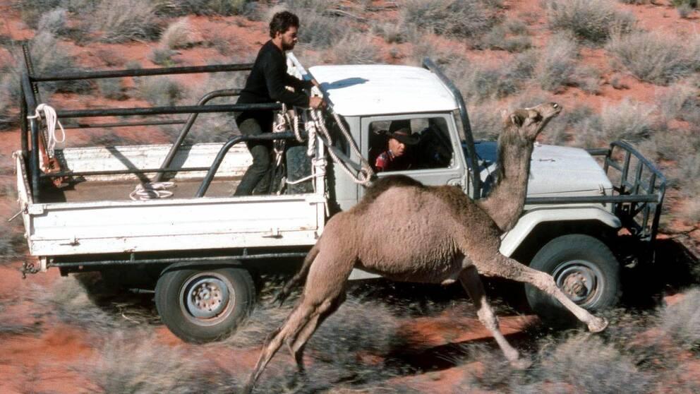Ranchägare i Australien som jagar och fångar en dromedar. Arkivbild