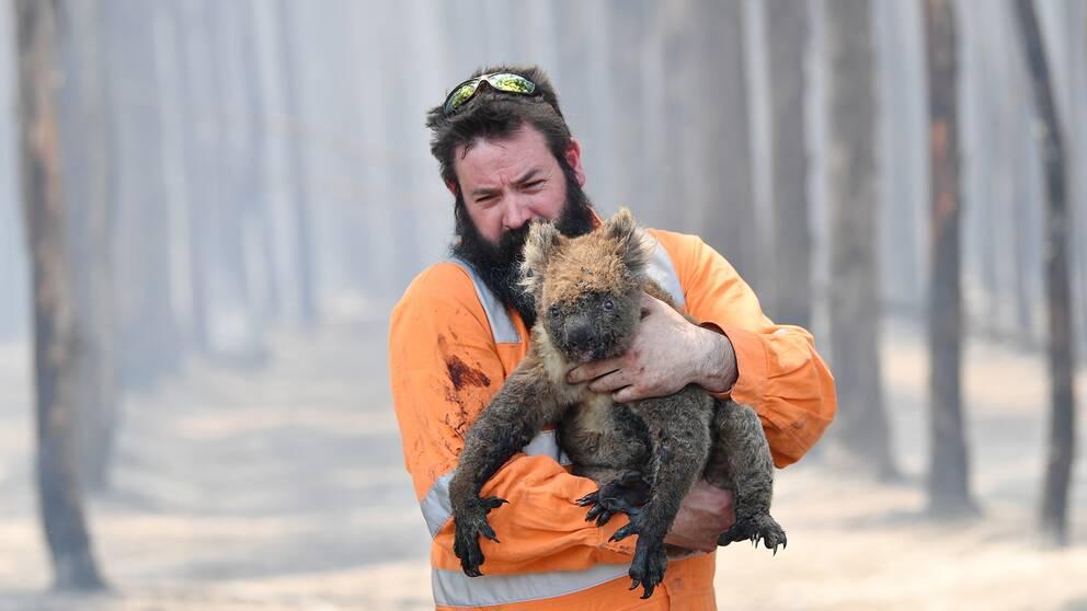 Viltvårdaren Simon Adamczyk håller en koala som han har räddade från en brinnande skog nära Cape Borda på den eldhärjade Kangaroo Island för två dagar sedan.