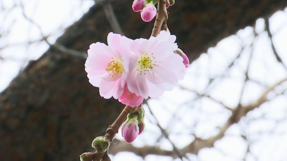 körsbärsblom i Kungsträdgården i januari