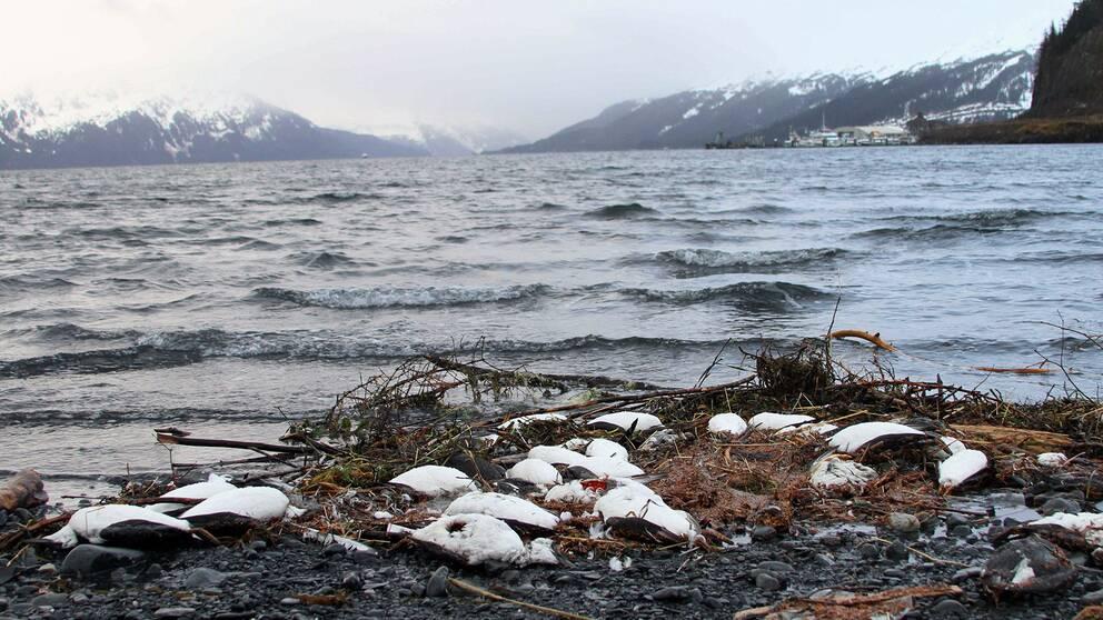 Döda fåglar på en stenig strand i Alaska
