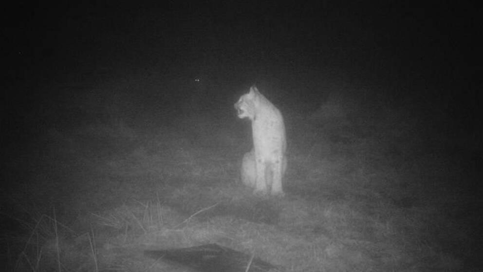 Ett lodjur fångades på en åtelkamera i skogarna utanför Kyrkhult, Olofströms kommun. Bilden är tagen den 19 december 2019.