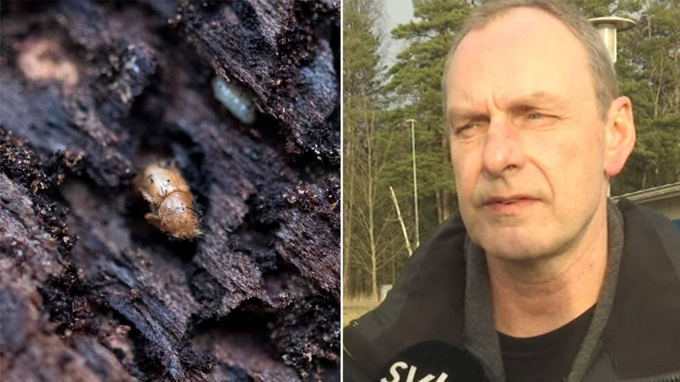 En granbarkborre på en gran och bredvid står Alf Olofsson från Skogsstyrelsen.