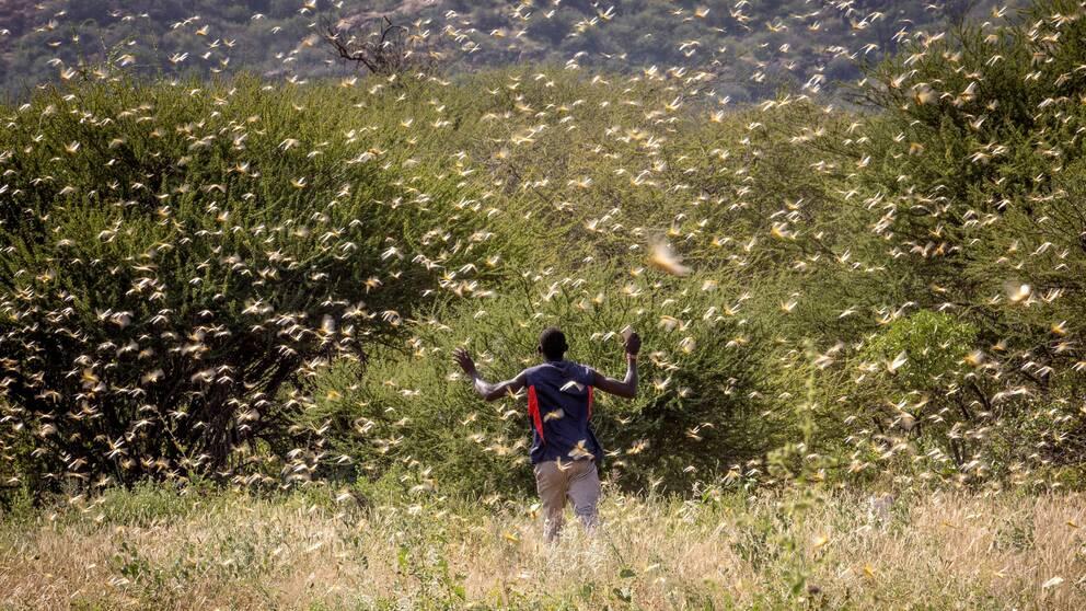 En man springer genom en gräshoppssvärm.