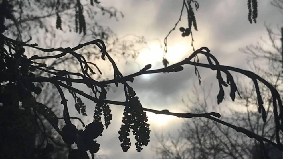 Pollen från alträd