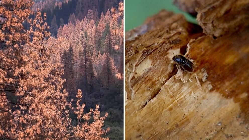 Ett foto av barrskog i USA som har torkat ut och ett foto av en barkborre.
