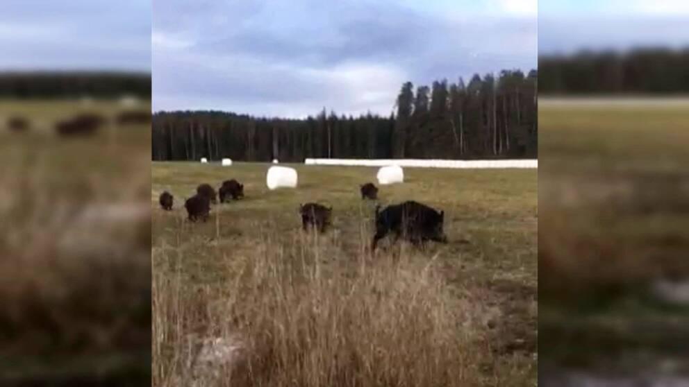 Ingemar Stålberg har filmat när han mötte 30 vildsvin i Forshaga