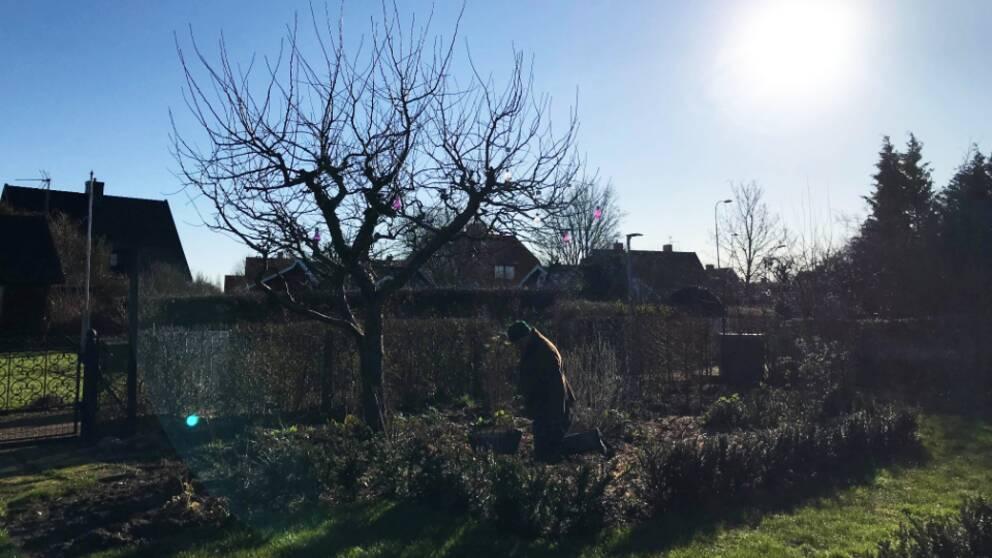 Trädgårdsmästaren John Taylor arbetar i trädgården på hans kolonilott.