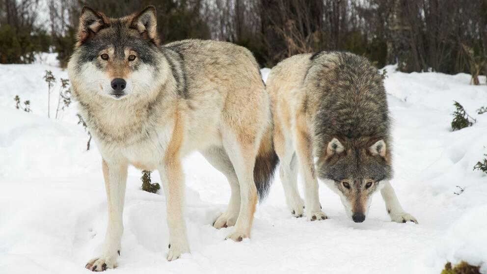 Två vargar i snö