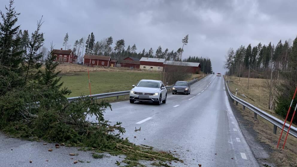 En gran som delvis ligger över en väg, två bilar står i kö.